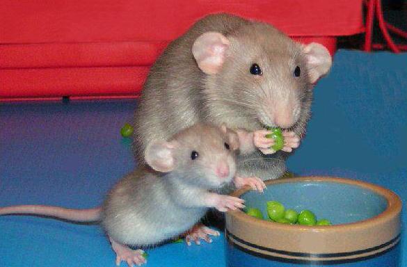 крысята кушают